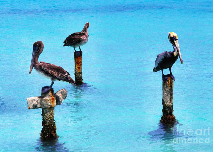 Brown Pelicans Greeting Card featuring the photograph Brown Pelicans In Aruba by Thomas R Fletcher