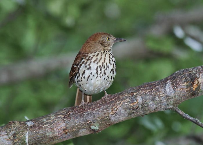 Brown Greeting Card featuring the photograph Brown Thrasher by Gregory Scott