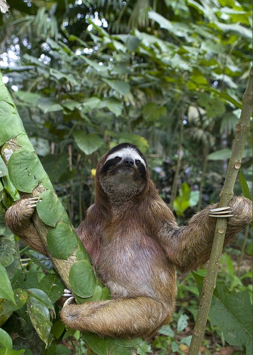 Mp Greeting Card featuring the photograph Brown Throated Three Toed Sloth Male by Suzi Eszterhas