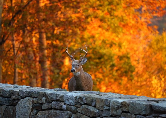 Metro Greeting Card featuring the photograph Buck In The Fall 01 by Metro DC Photography
