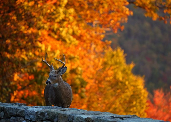 Metro Greeting Card featuring the photograph Buck In The Fall 02 by Metro DC Photography