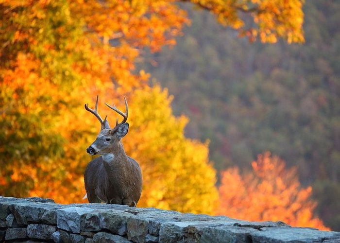 Metro Greeting Card featuring the photograph Buck In The Fall 04 by Metro DC Photography