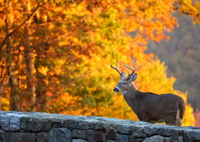 Metro Greeting Card featuring the photograph Buck In The Fall 06 by Metro DC Photography