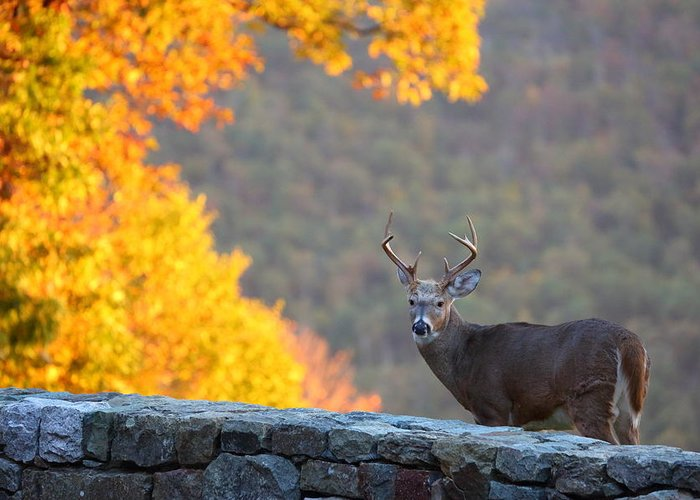 Metro Greeting Card featuring the photograph Buck In The Fall 08 by Metro DC Photography