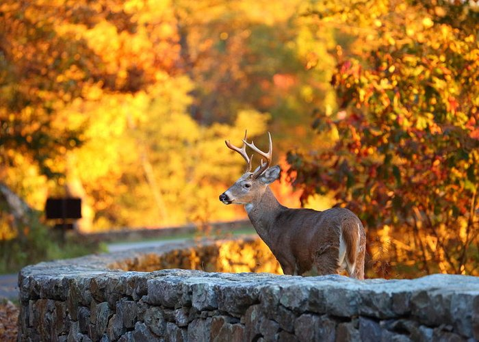 Metro Greeting Card featuring the photograph Buck In The Fall 09 by Metro DC Photography
