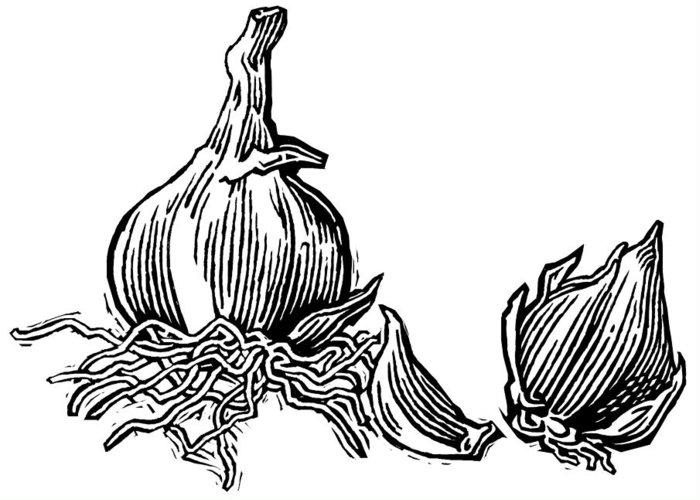 Allium Sativum Greeting Card featuring the photograph Bulbs Of Garlic, Woodcut by Gary Hincks