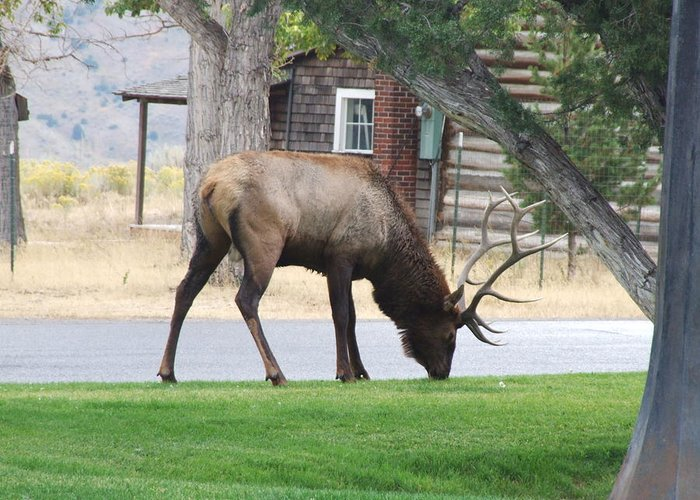 Wildlife Greeting Card featuring the photograph Bull Elk At Lodge by Wendy Hope
