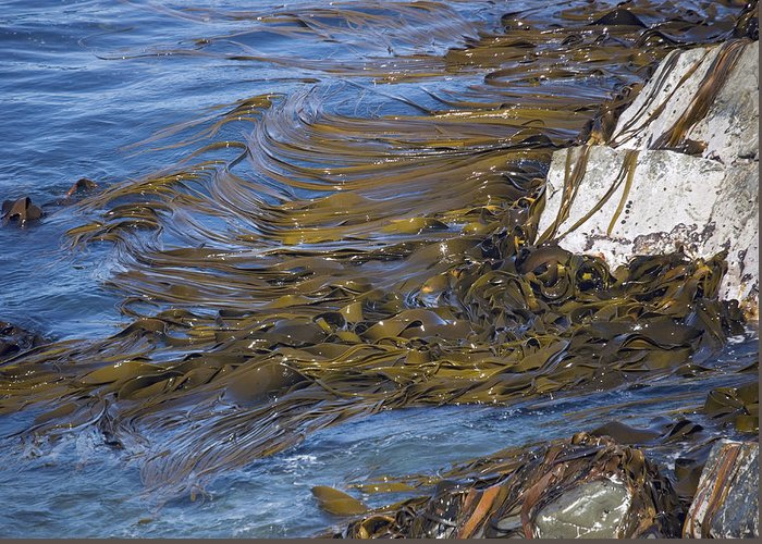 Durvillea Antarctica Greeting Card featuring the photograph Bull Kelp Bed by Bob Gibbons