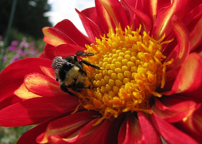 Oregon Greeting Card featuring the photograph Bumblebee Dahlia 1 by Lora Fisher