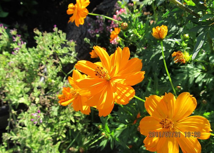 Flowers Greeting Card featuring the photograph Burst Of Orange by Tina M Wenger