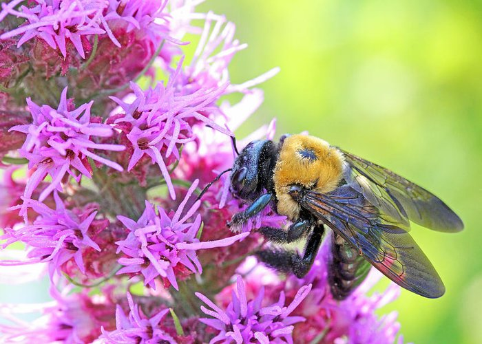 Becky Greeting Card featuring the photograph Busy As A Bee by Becky Lodes