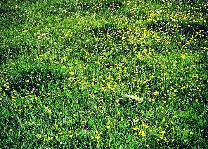 Buttercups Greeting Card featuring the photograph Buttercups by Nic Squirrell