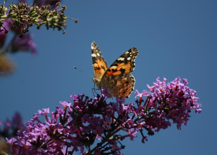 Butterfly Greeting Card featuring the photograph Butterfly On Lilac 2 by Berta Barocio-Sullivan