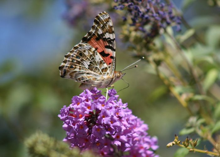 Butterfly Greeting Card featuring the photograph Butterfly On Lilac by Berta Barocio-Sullivan