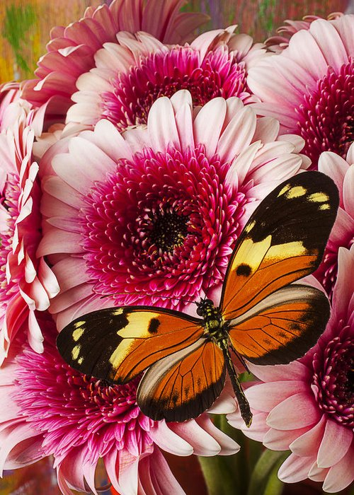 Butterfly Eduador Pichincha Tinalandia Greeting Card featuring the photograph Butterfly On Pink Mum by Garry Gay