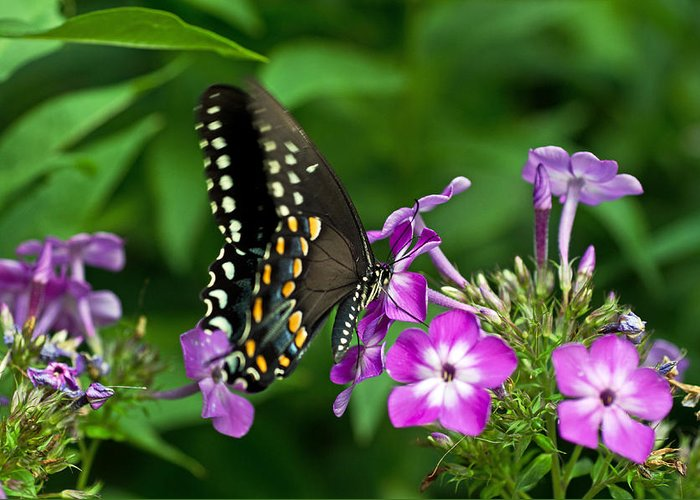 Butterfly Greeting Card featuring the photograph Butterfly On Purple by Cheryl Cencich