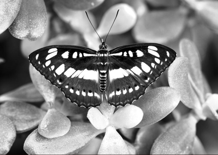 B&w Greeting Card featuring the photograph Butterfly Study #0061 by Floyd Menezes
