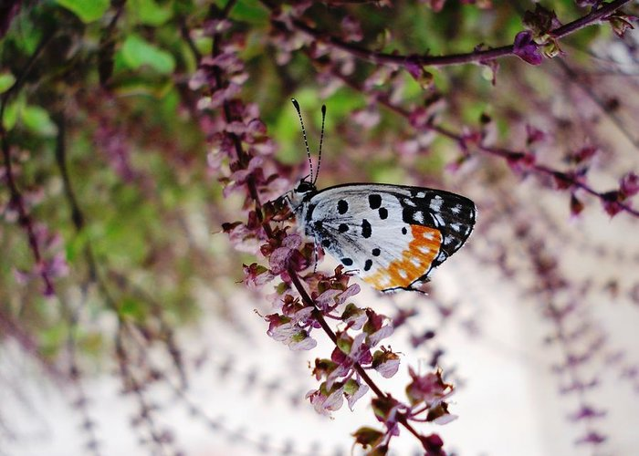 Butterfly Insects Nature Plants Flora Flowers Greeting Card featuring the photograph Butterfly by Sumit Mehndiratta