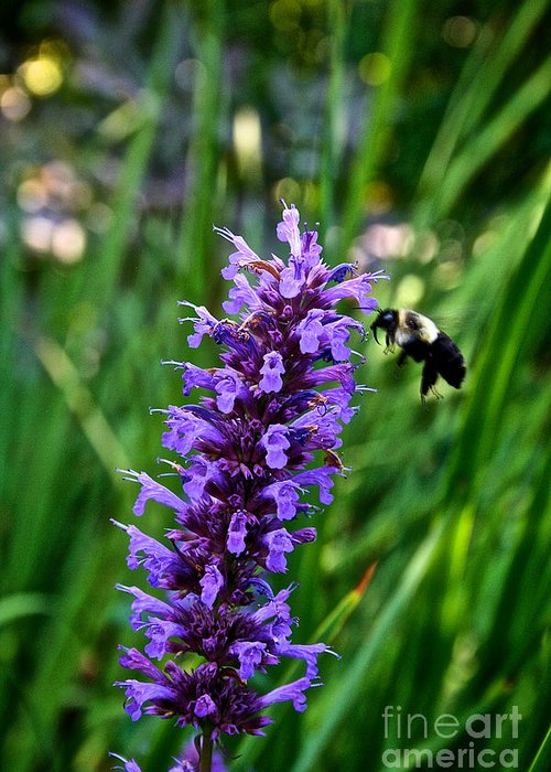 Outdoors Greeting Card featuring the photograph Buzzing Hyssop by Susan Herber