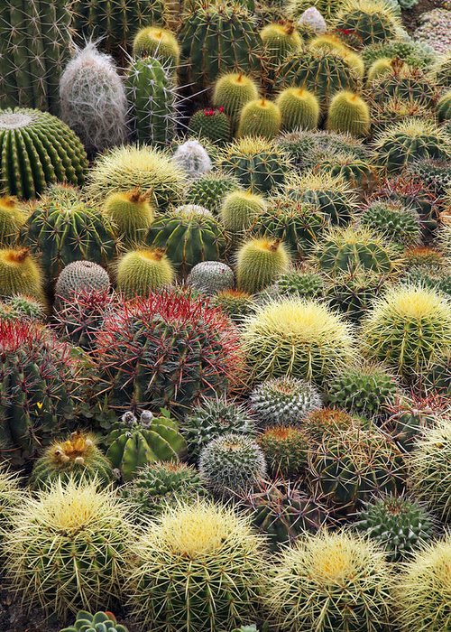 Plant Greeting Card featuring the photograph Cacti by Bjorn Svensson