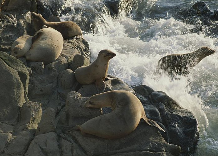 Animals Greeting Card featuring the photograph California Sea Lions Bask On San Miguel by James A. Sugar