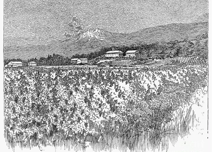 1889 Greeting Card featuring the photograph California: Vineyard, 1889 by Granger