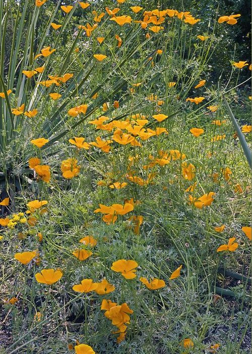 Californian Poppy Greeting Card featuring the photograph Californian Poppy (eschscholzia Sp.) by Dr Keith Wheeler