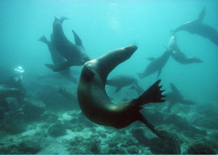 Californian Sea Lion Greeting Card featuring the photograph Californian Sea Lions by Georgette Douwma