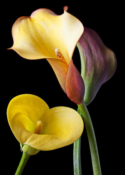 Calla Lily Greeting Card featuring the photograph Calla Lilies Still Life by Garry Gay