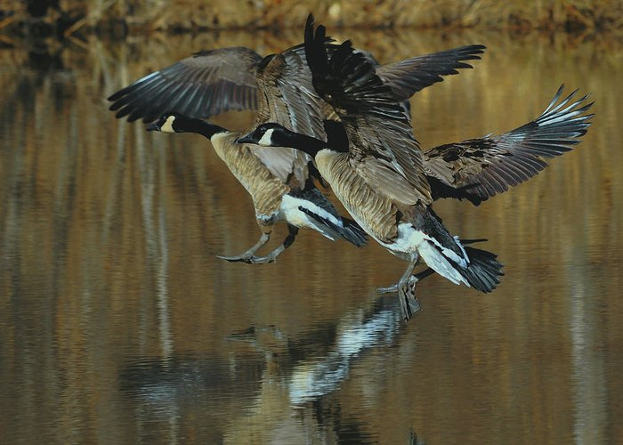 Paul Lyndon Phillips Greeting Card featuring the photograph Canada Goose Trio Landing - C0843m by Paul Lyndon Phillips