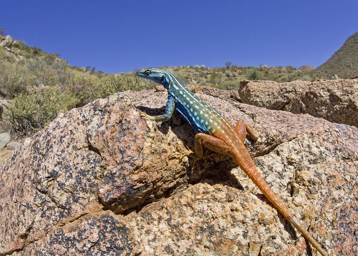 00427169 Greeting Card featuring the photograph Cape Flat Lizard South Africa by Piotr Naskrecki