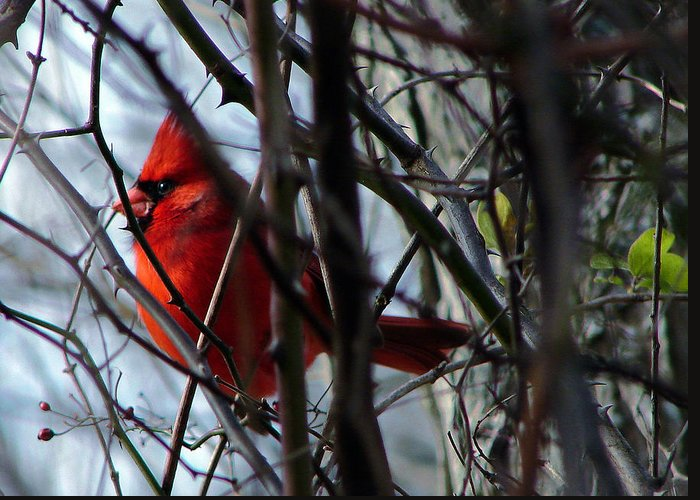 Ohio Greeting Card featuring the photograph Cardinal And Thorns by Brian Stevens