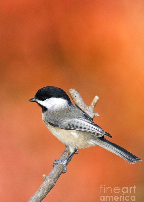 Carolina Chickadee Poecile Carolinensis Backyard Bird Songbird Perch Twig Branch Wildlife Nature Fauna Autumn Fall Color Floyd County Indiana America American Greeting Card featuring the photograph Carolina Chickadee - D007812 by Daniel Dempster
