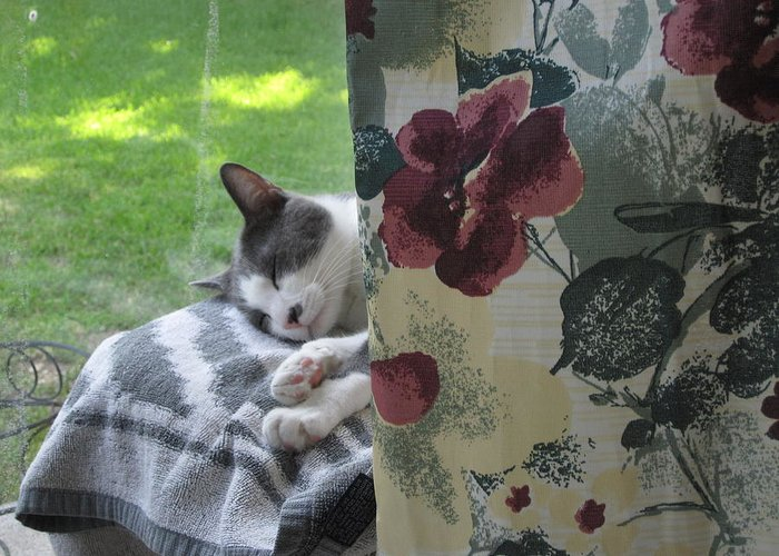 Cats Greeting Card featuring the photograph Cat Nap Curtain by Mike Witte