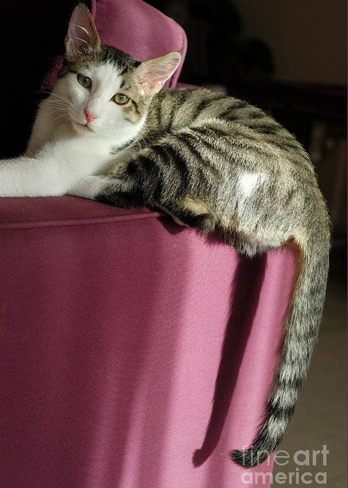 Animal Greeting Card featuring the photograph Cat On Sofa by Sami Sarkis