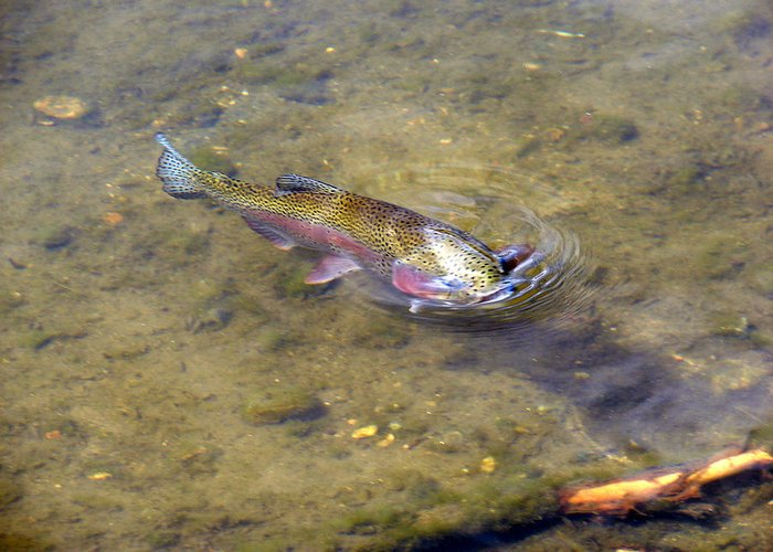 Rainbow Trout Greeting Card featuring the photograph Catch Me You Can by Phyllis Britton