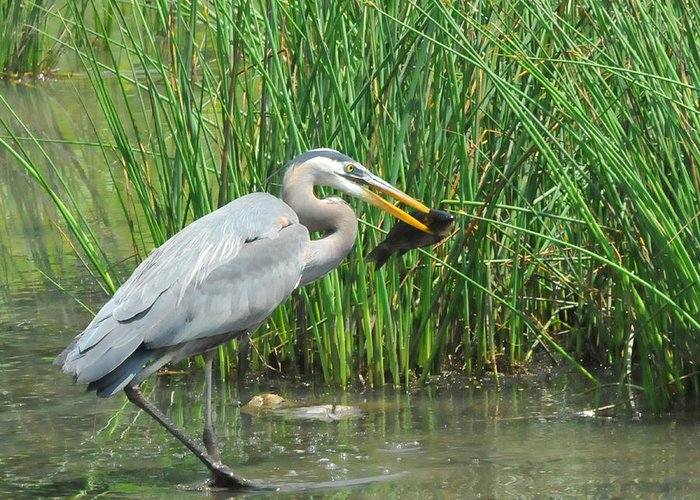 Heron Greeting Card featuring the photograph Catch Of The Day by Paul Ward