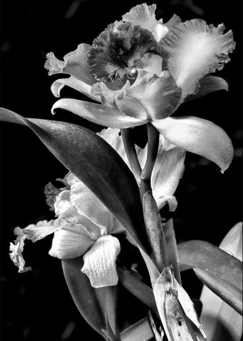 Cattleya Greeting Card featuring the photograph Cattleya - Bw by Christopher Holmes
