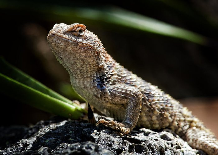 Lizard Greeting Card featuring the photograph Cautious Model by Kelley King