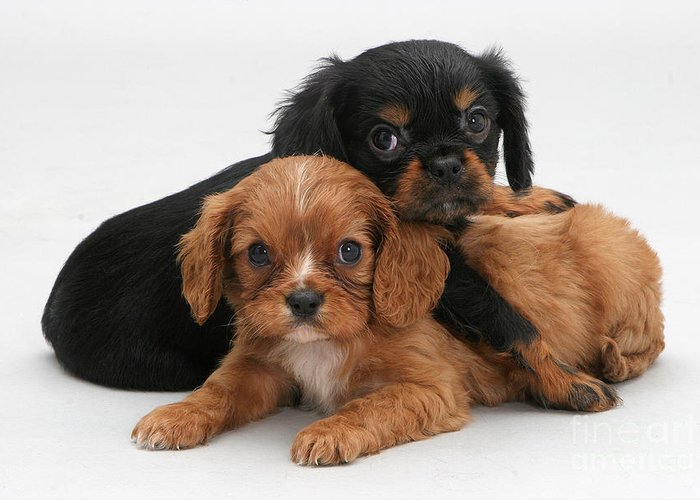 Animal Greeting Card featuring the photograph Cavalier King Charles Spaniel Puppies by Jane Burton