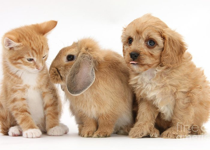 Nature Greeting Card featuring the photograph Cavapoo Pup, Rabbit And Ginger Kitten by Mark Taylor