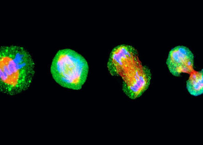Mitosis Greeting Card featuring the photograph Cell Mitosis by Thomas Deerinck, Ncmir