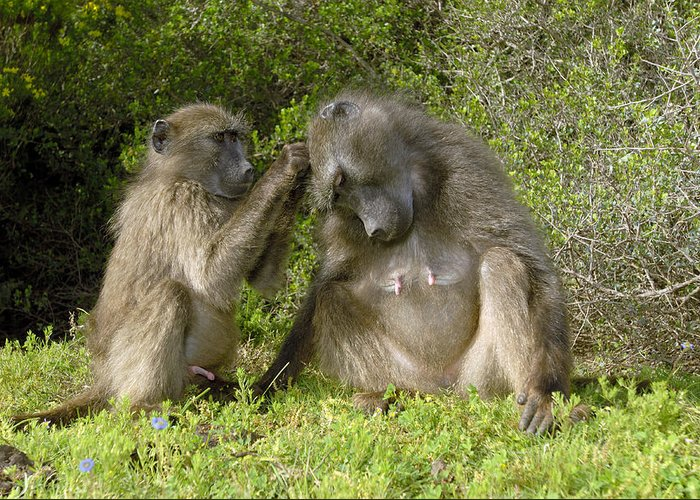 Papio Ursinus Greeting Card featuring the photograph Chacma Baboons Grooming by Peter Chadwick