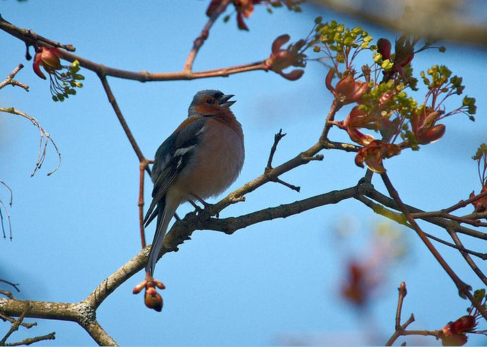 Isosuo Greeting Card featuring the photograph Chaffinch by Jouko Lehto