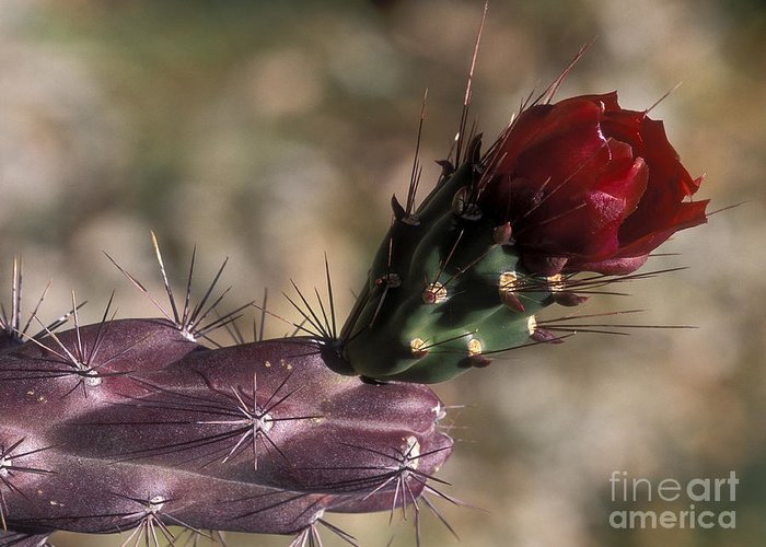 Sandra Bronstein Greeting Card featuring the photograph Chain Cholla Cactus Bloom by Sandra Bronstein