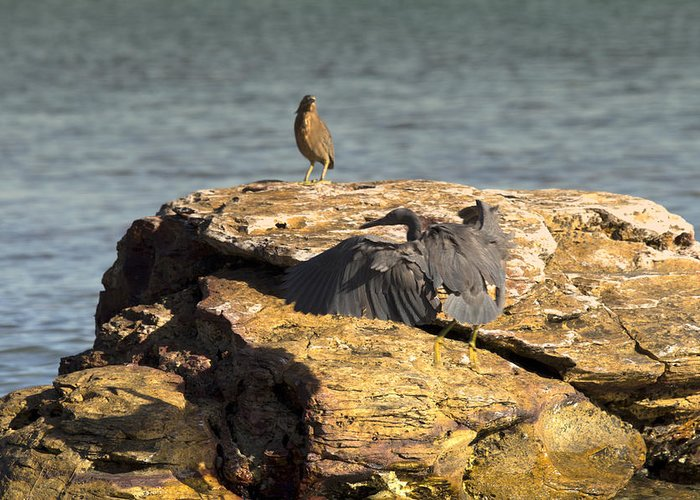 Dark Reef Egret Greeting Card featuring the photograph Challenge For The Throne by Douglas Barnard