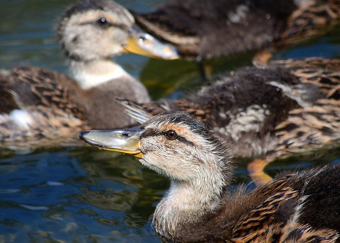 Baby Ducks Greeting Card featuring the photograph Changing Directions by Fraida Gutovich