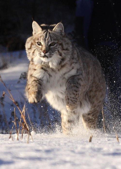 Cat: Bob Cat: Winter: Wildlife: Nature: Snow Scene: Greeting Card featuring the photograph Chase In The Snow by Vic Sharratt