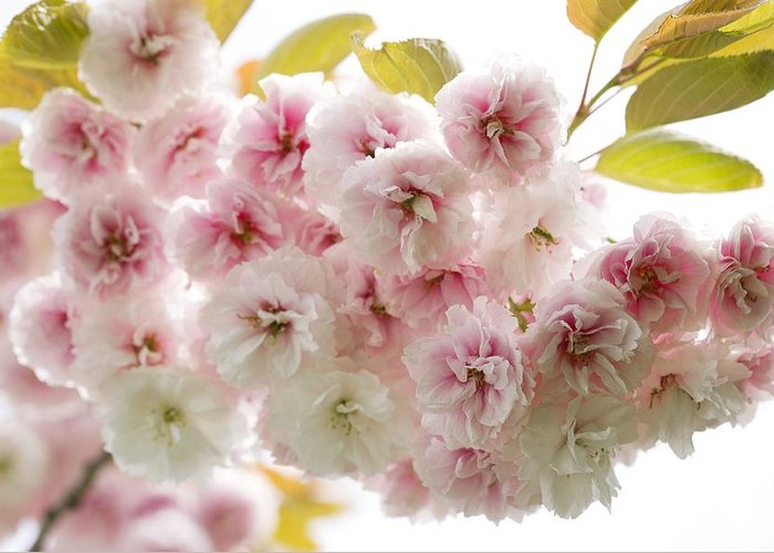 Cherry Greeting Card featuring the photograph Cherry Blossom (cerasus Sp.) by Jon Stokes