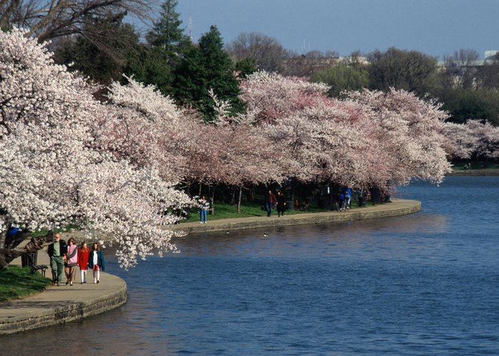 Spring Views Greeting Card featuring the photograph Cherry Blossom Festival, Jefferson by Richard Nowitz